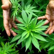 Israel grows medicinal marijuana in Safed